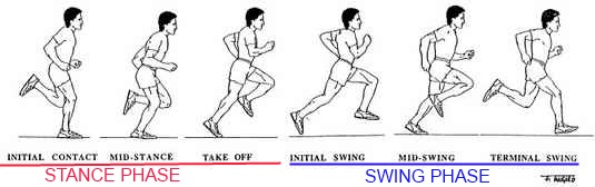 swing and stance phases